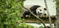 Tian Tian,  the female giant panda at Edinburgh Zoo